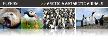 arctic_animals