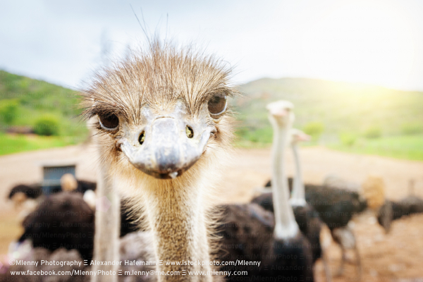 Curious Ostrich,South Africa