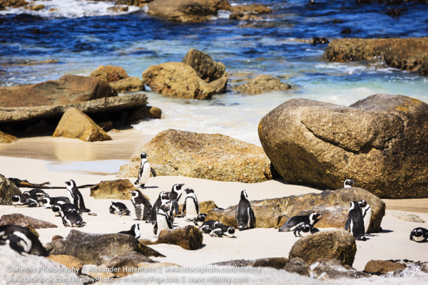 African Penguins Colony, Boulders Beach, South Africa