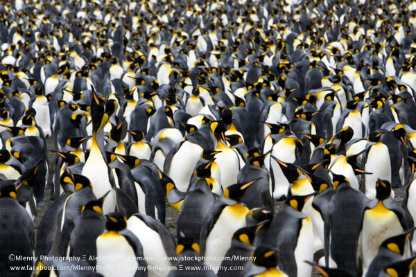 Colony of Emperor Penguins, South Georgia Island