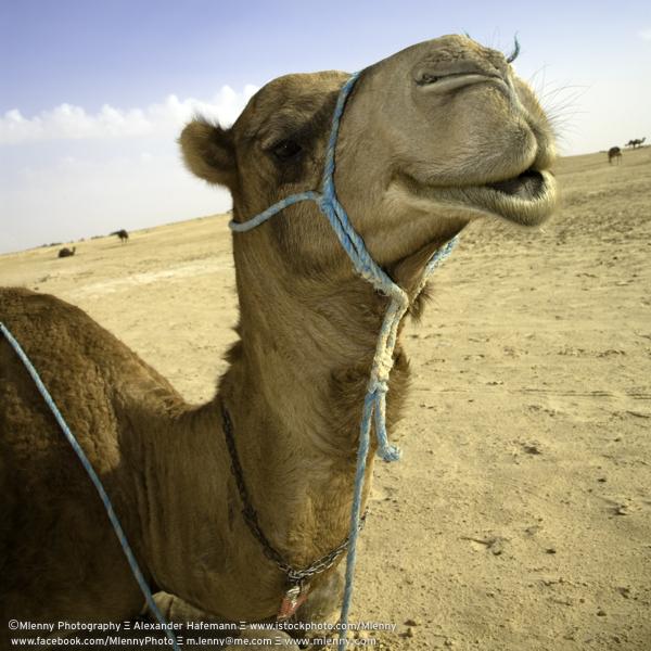 Sahara Camel Portrait