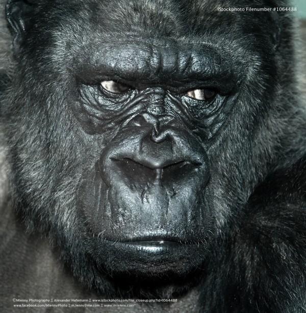 Gorilla, Portrait
